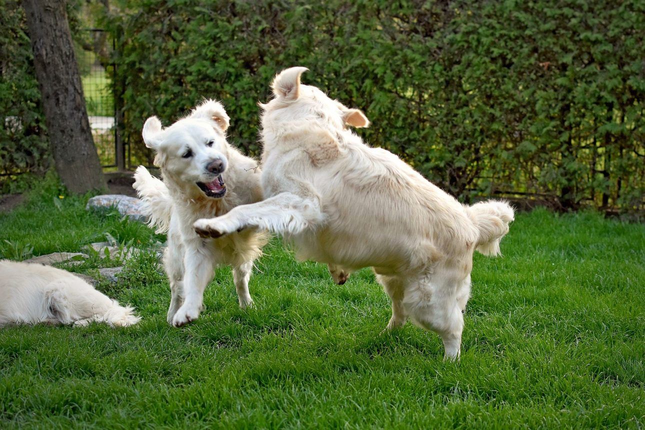 Two golden retriever dogs playing outside in the backyard.