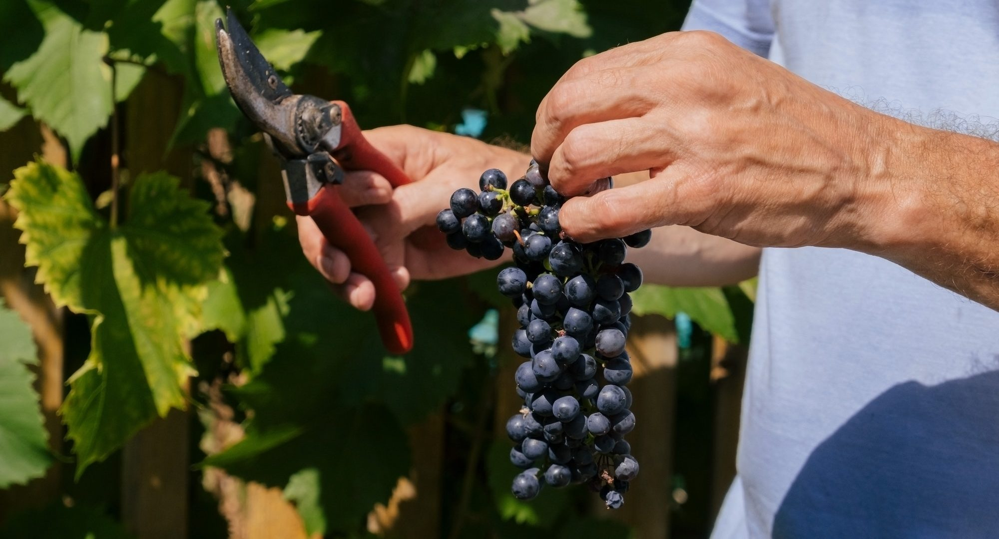 close up of male hands with pruning shears cutting a bunch of red grapes, winemaking and harvesting